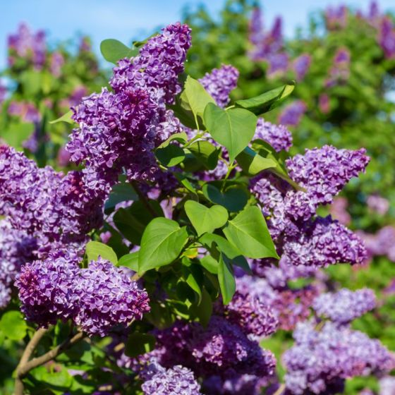 common-purple-lilac-3-800x800