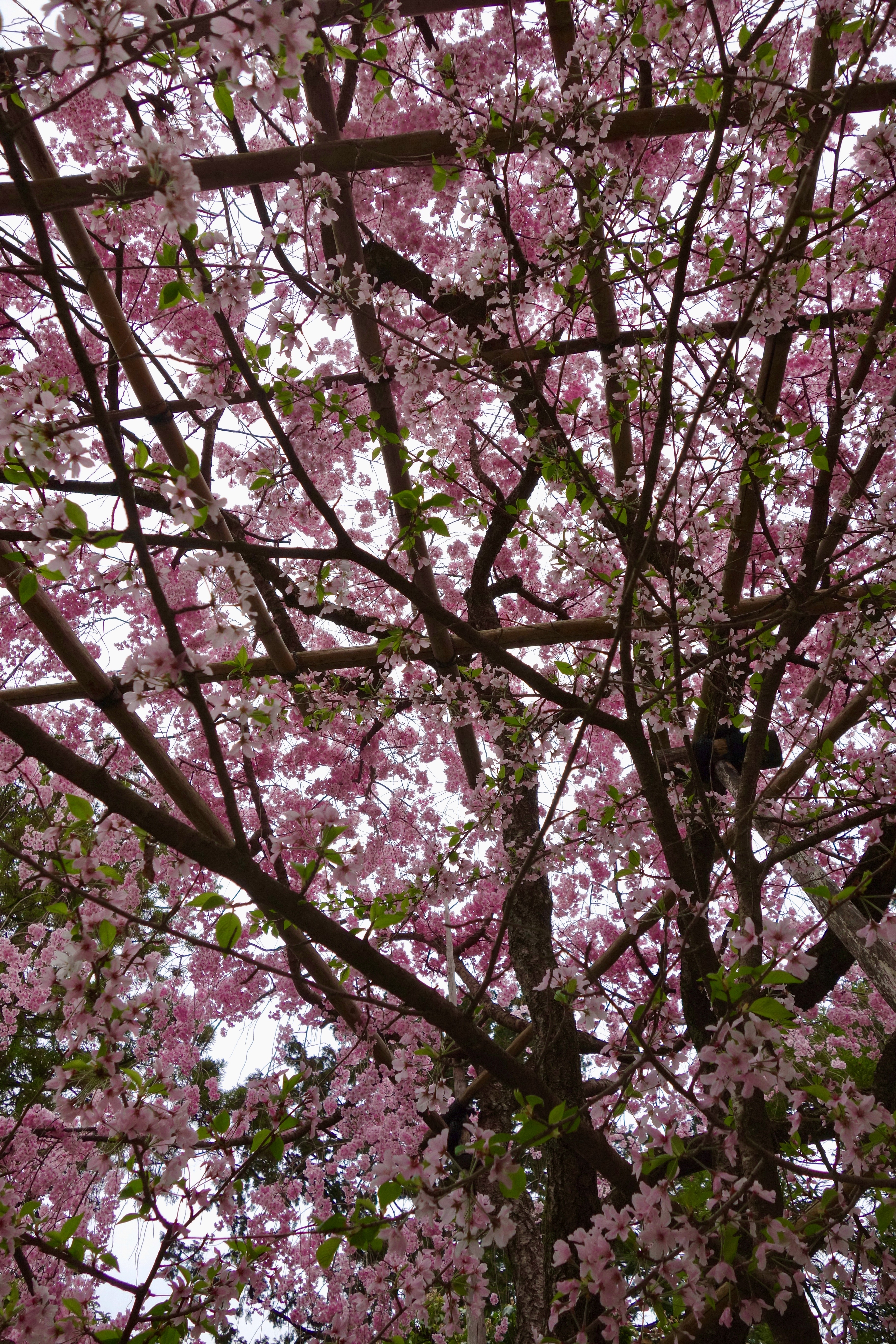 canopy for support of cherry blossoms